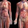 Revelan nueva peculiaridad de la anatomía humana