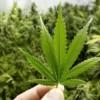Audiencias públicas sobre legalización de la marihuana